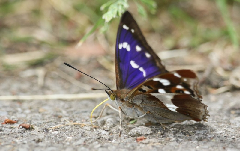 Purple Emperor Turnford 2 Jul