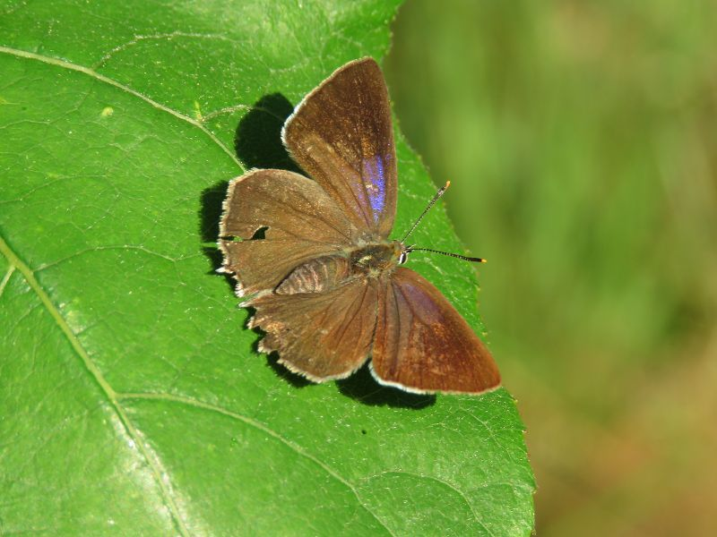 Purple Hairstreak Cannocks Wood 23 Jul