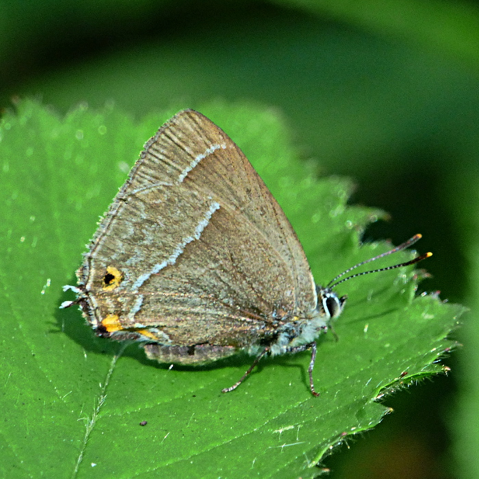 Purple Hairstreak Firs 25 Jul