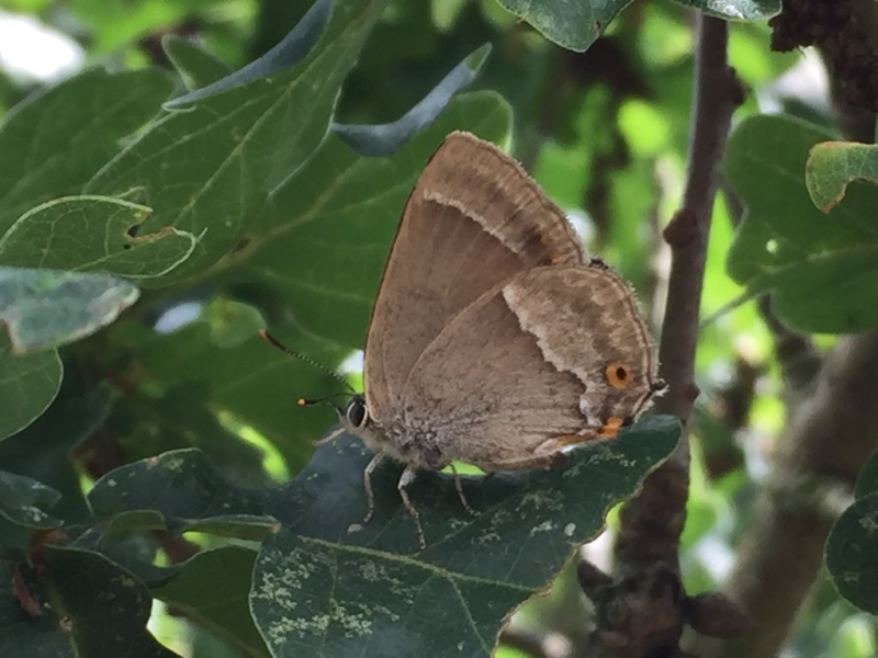 Purple Hairstreak Nomansland Common 17 Jul