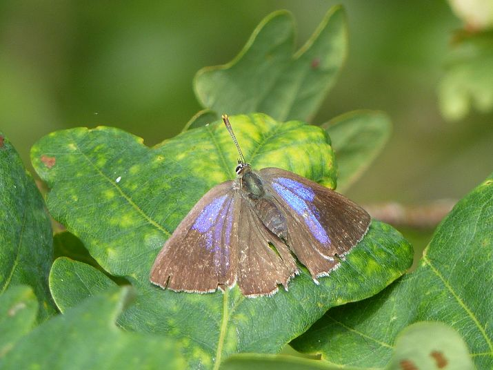 Purple Hairstreak Norton Green 3 Aug