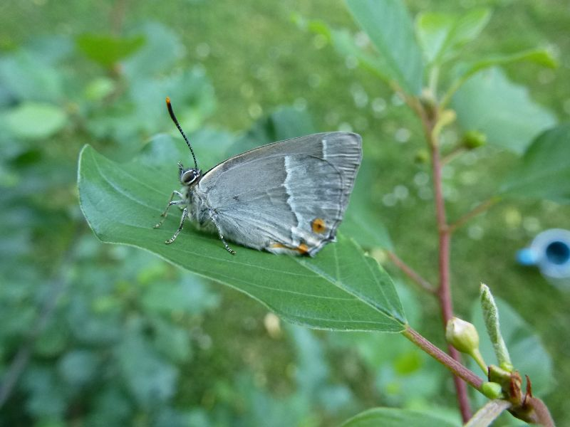 Purple Hairstreak Watford 1 Jul