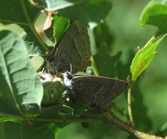 Purple Hairstreaks Northaw Great Wood 29 Jul