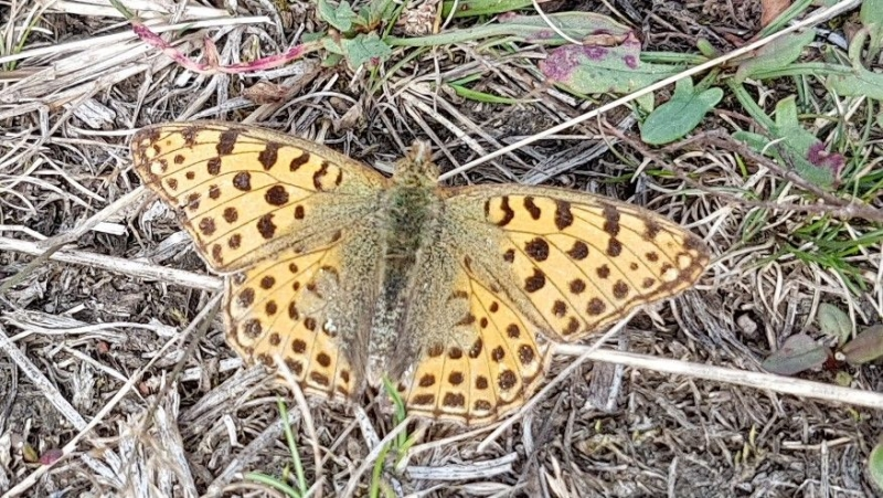 Queen of Spain Fritillary Patmore Heath 20 Aug