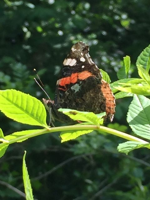 Red Admiral Alexandra Park 10 May