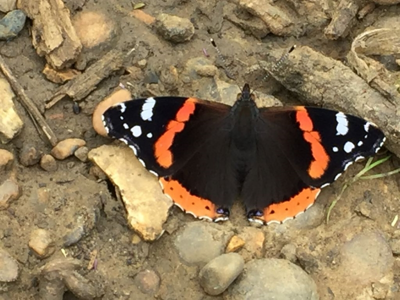 Red Admiral Heartwood 30 Jun