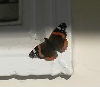 Red Admiral Highgate 30 Jan