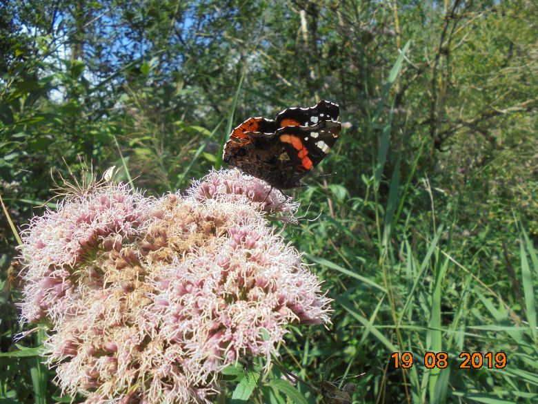Red Admiral Oughtonhead Common 17 Aug