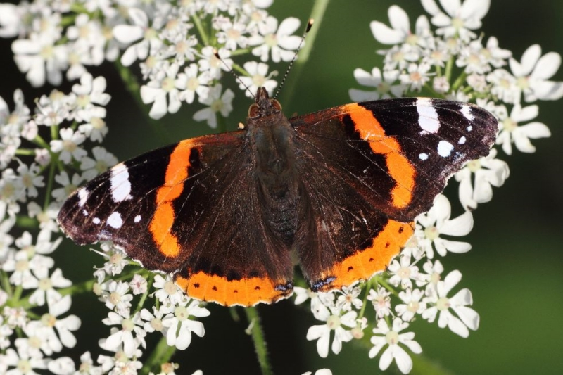 Red Admiral Tunnel Gardens 22 Jun