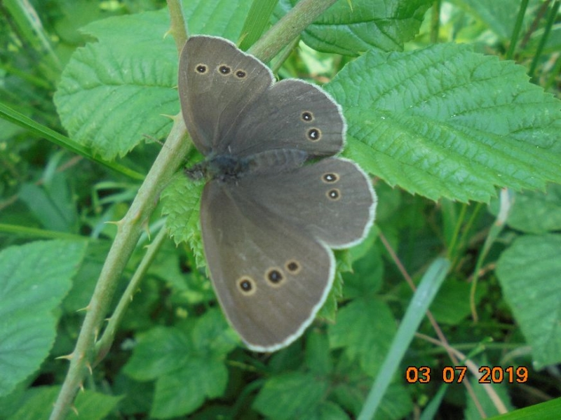 Ringlet Ashbrook 3 Jul