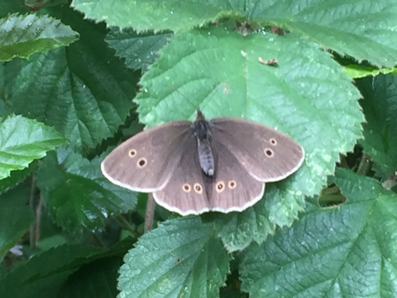 Ringlet Bricket Wood Common7 Jul