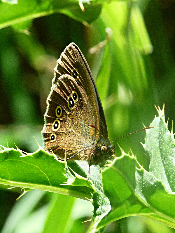 Ringlet Cowleys Corner Wood 22 Jun