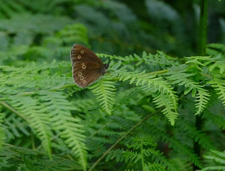 Ringlet Northaw Great Wood 24 Jun