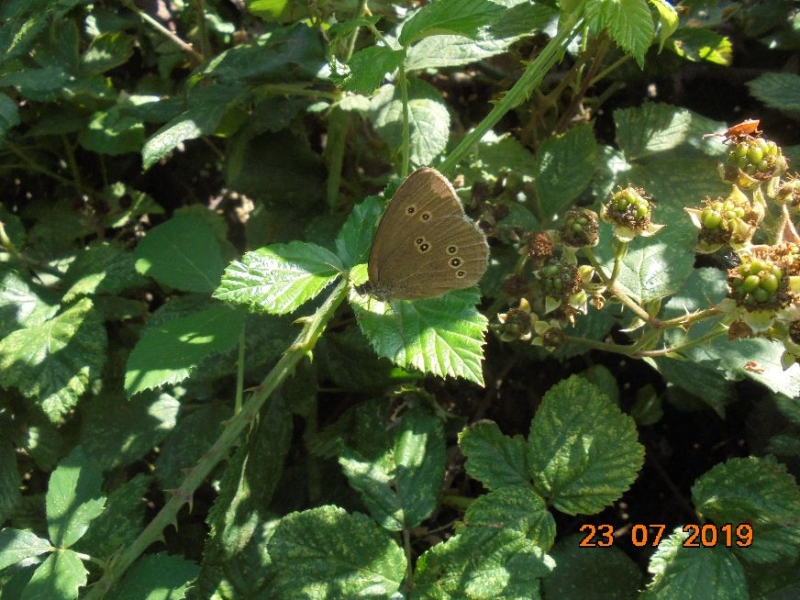 Ringlet Norton Common 23 Jul