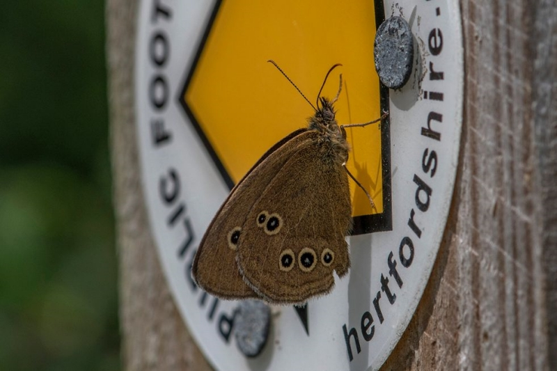 Ringlet Norton Green Common 11 Jul