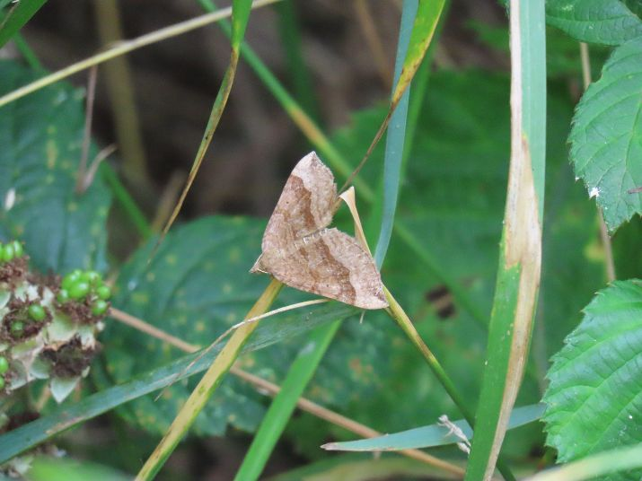 Shaded Broad-bar Ickenham 28 Jul