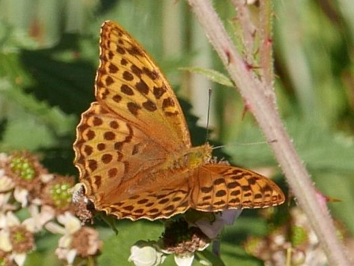 Silver-washed Fritillary Bengeo 16 Jul