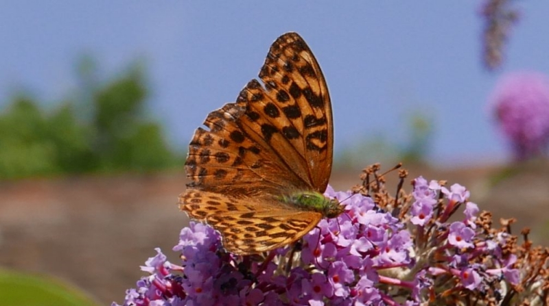 Silver-washed Fritillary Bengeo 1 Aug