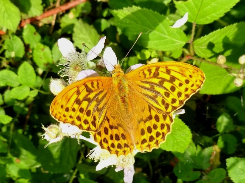 Silver-washed Fritillary Bramfield Wood 28 Jun