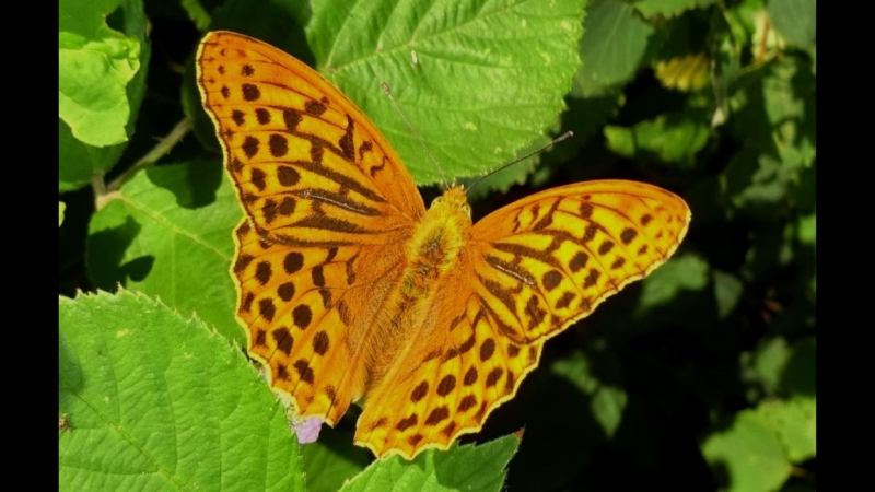 Silver-washed Fritillary Broxbourne Woods 27 Jun