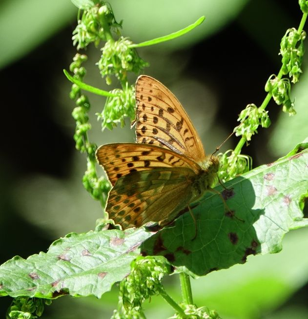 Silver-washed Fritillary Hertford 27 Jun