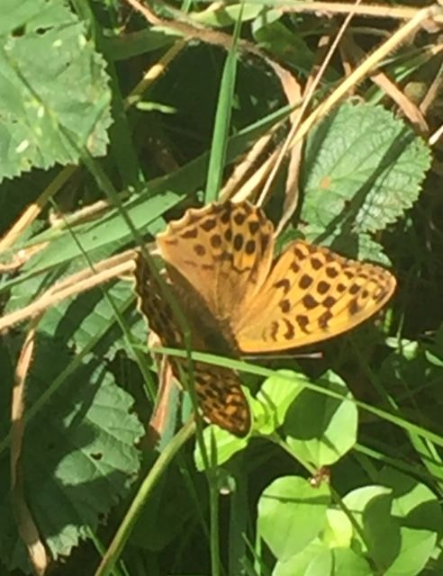 Silver-washed Fritillary Northaw Great Wood 15 Jul