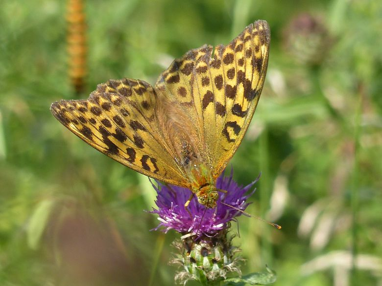 Silver-washed Fritillary Norton Green 3 Aug