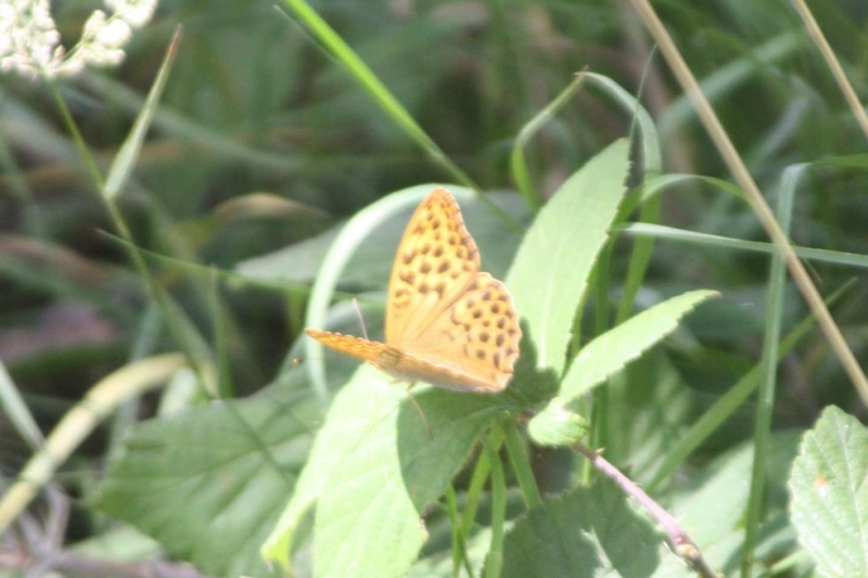 Silver-washed Fritillary Patmore Heath 16 Jul
