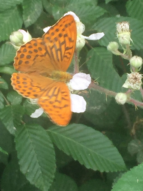 Silver-washed Fritillary Symondshyde 11 Jul