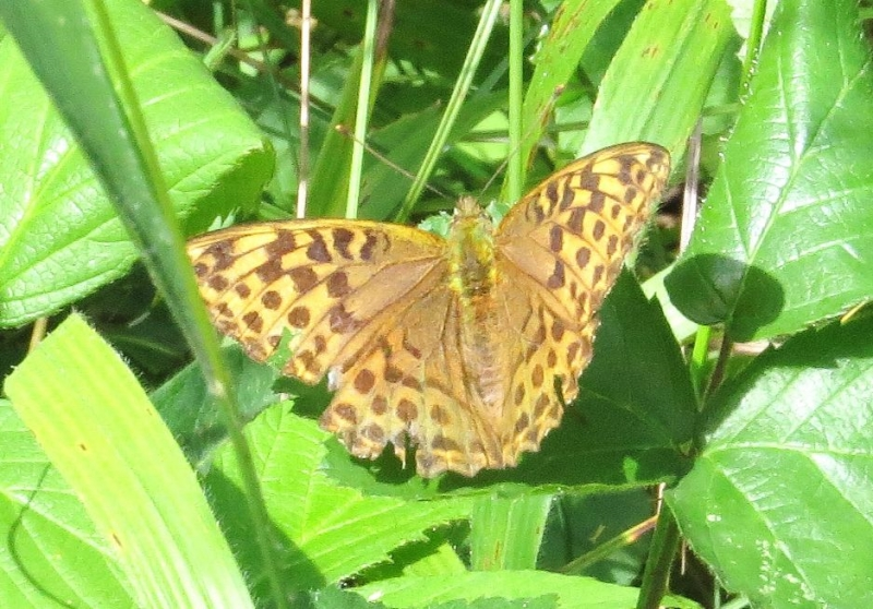 Silver-washed Fritillary (f) Bricket Wood Common 24 Jul