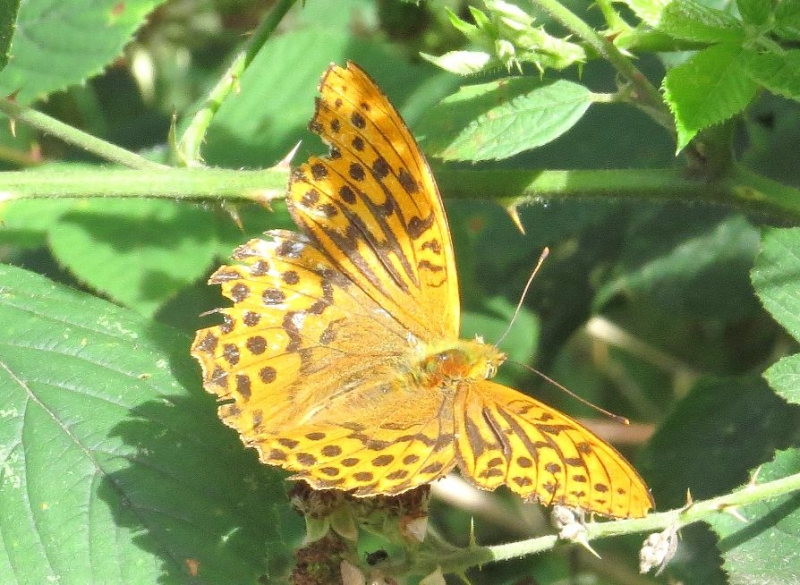 Silver-washed Fritillary (m) Bricket Wood Common 24 Jul