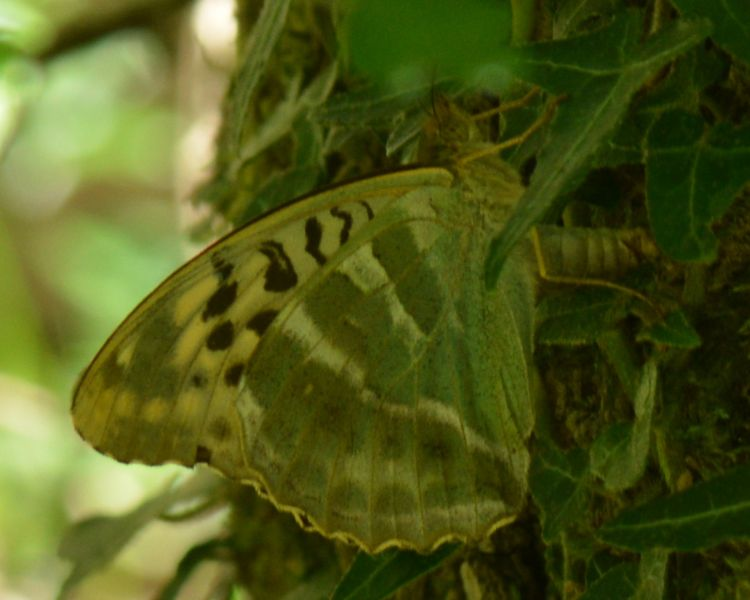 Silver-washed Fritillary valezina% Bricket Wood Common 4 Jul
