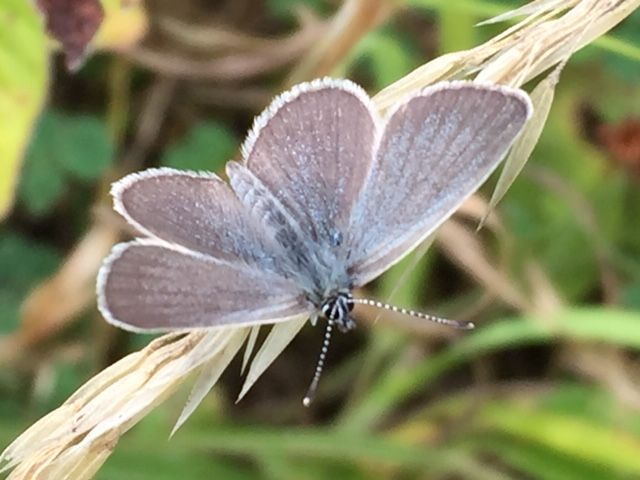 Small Blue Bourne End 4 Aug