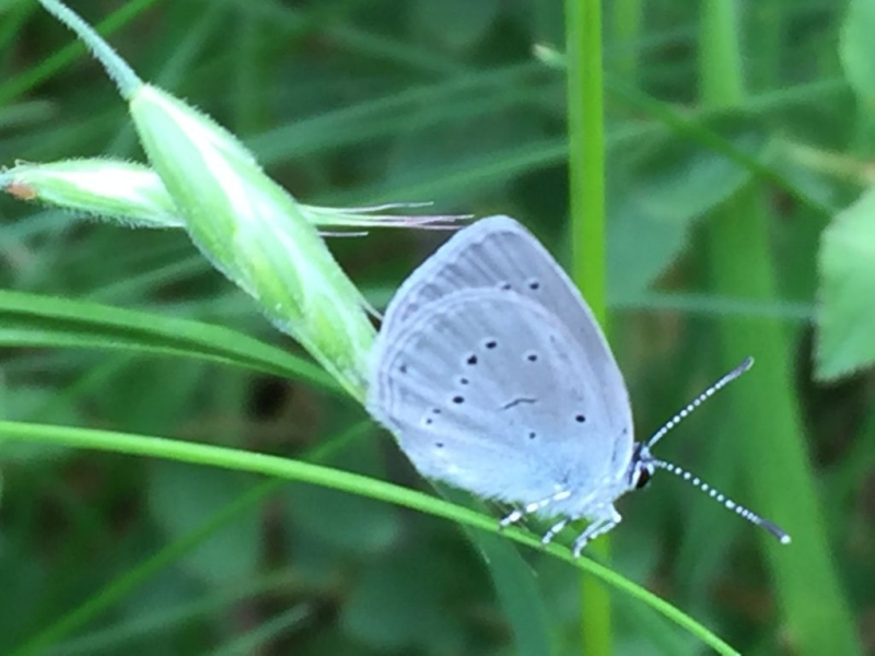 Small Blue Chiswell Green 26 May