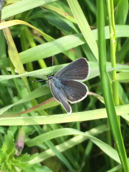 Small Blue Chiswell Green 30 Apr