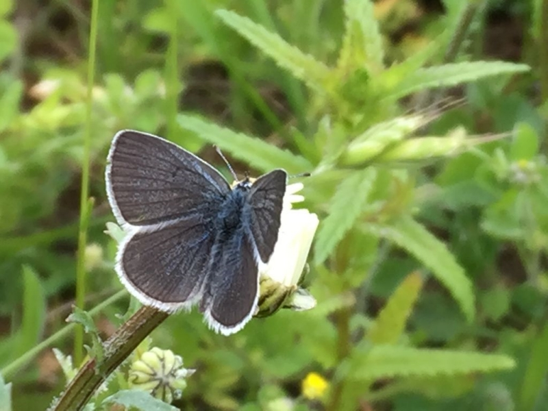 Small Blue Heartwood 9 Jun
