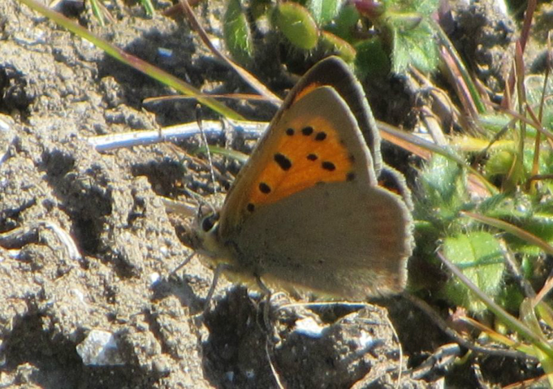 Small Copper Aldbury Nowers 21 Apr