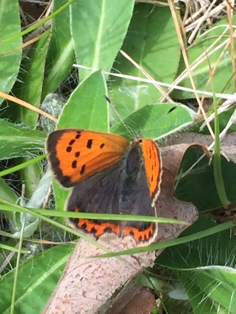 Small Copper Alexandra Park 10 May