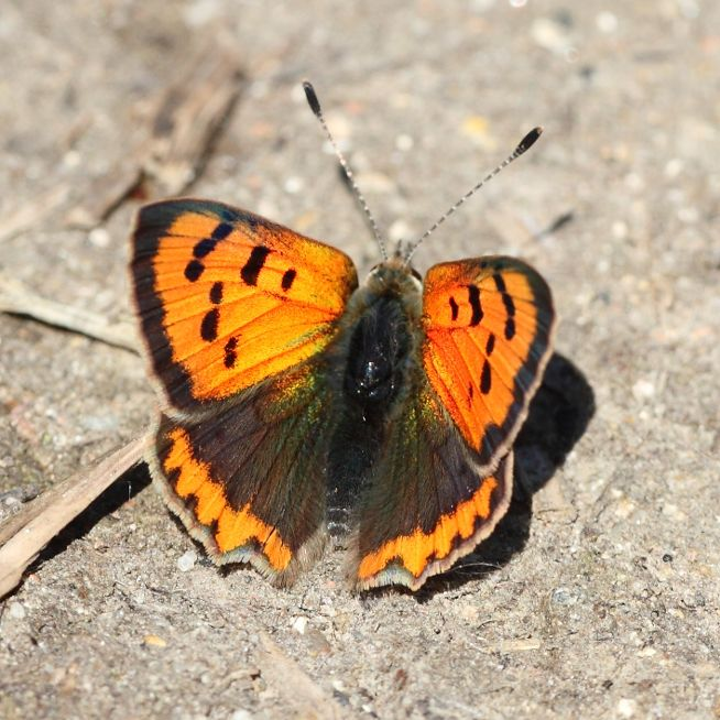 Small Copper Coppets Wood 12 May
