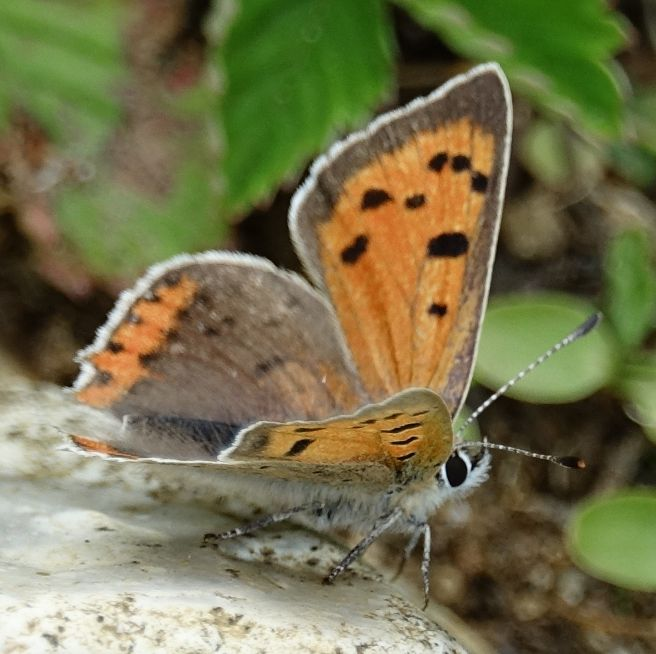 Small Copper Frogmore GP 7 May