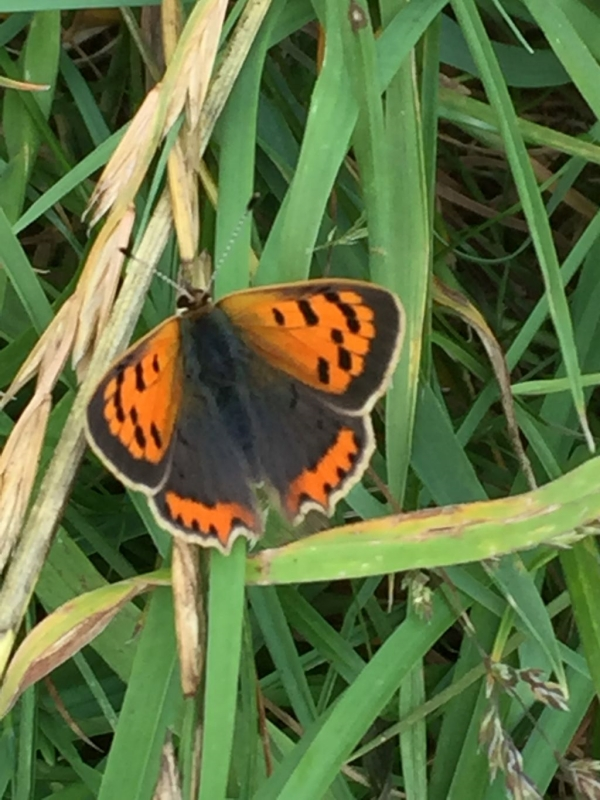 Small Copper Nomansland Common 17 Jul