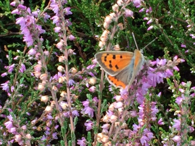 Small Copper Nomansland Common 9 Aug