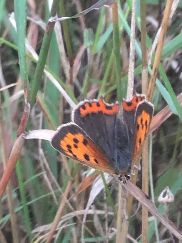 Small Copper Radlett 17 Aug
