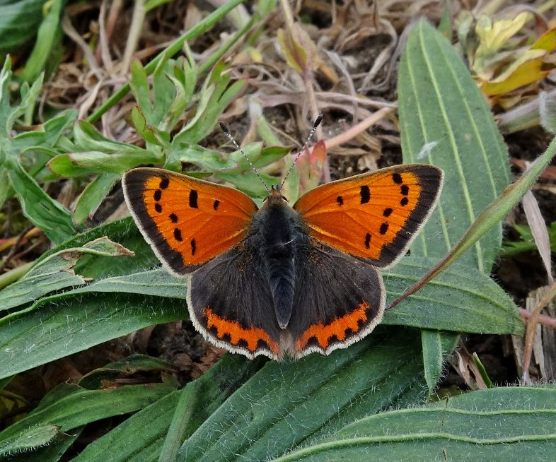 Small Copper Stanwell Moor 2 May