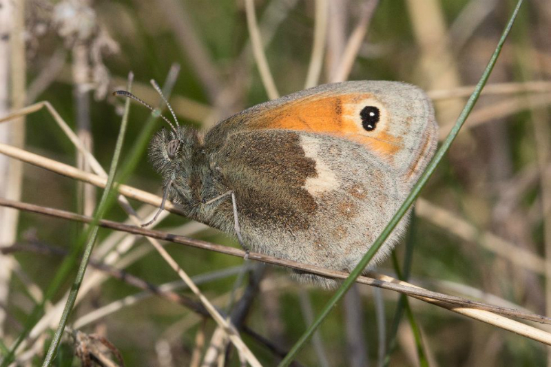 Small Heath Fox Covert 15 Apr
