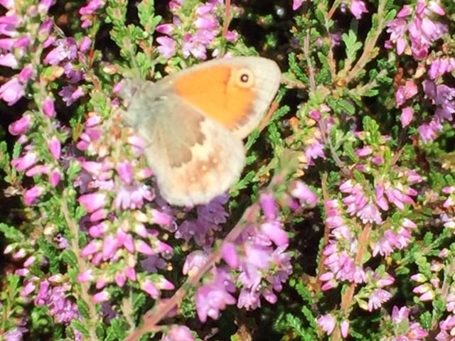 Small Heath Nomansland Common 9 Aug