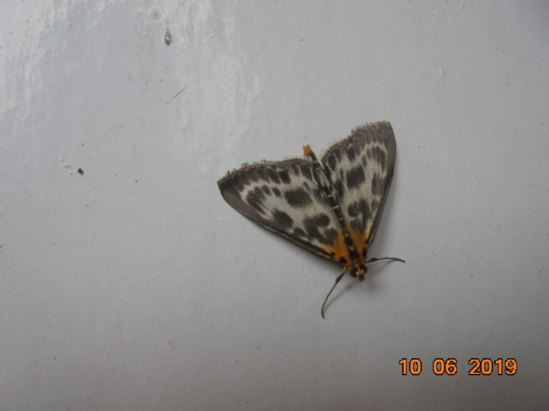 Small Magpie Moth Hitchin 10 Jun