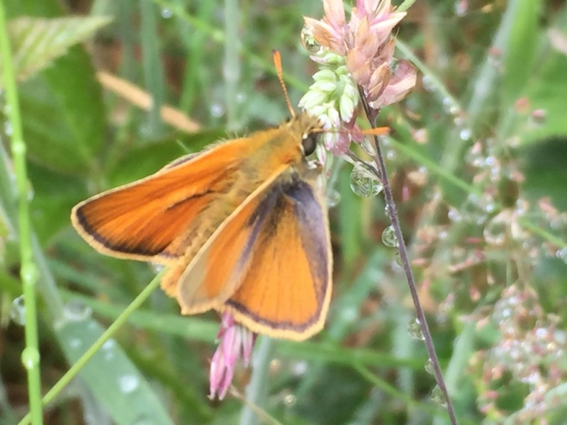 Small Skipper Bricket Wood Common7 Jul