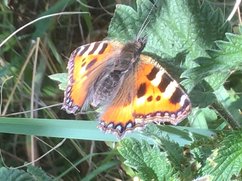 Small Tortoiseshell Greenwood Park 17 Aug