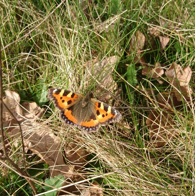 Small Tortoiseshell Harpenden Common 23 Mar